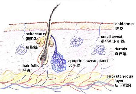 皮肤结构示意图